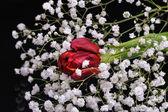 黑色背景上的红色郁金香 — 图库照片