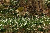 Flocon de neige sping fleurs — Photo