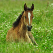 Stock Photo: Horses Arabi Offspring