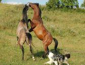 Horses Fight 2 — Stock Photo