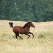 Stock Photo: Horse offspring Runs