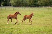 Nice little foals on pasture — Stock Photo