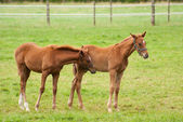 Nice little foals on pasture — Stock Photo
