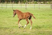 Nice little foal on pasture — Stock Photo