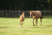 Horse and little foal on pasture — Stock Photo