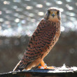 Common Kestrel — 图库照片