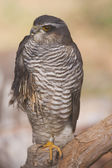 Wounded Eurasian Sparrowhawk — Stock Photo
