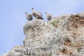 Group of Griffon Vultures — Stock Photo