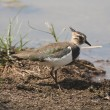 Foto de Stock  : Northern Lapwing