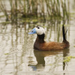 Stock Photo: White-headed Duck