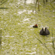 Eurasian Coot searching for food — 图库照片