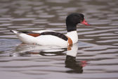 Shelduck reflection — Stock Photo