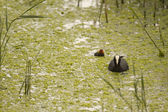 Eurasian Coot searching for food — Stock Photo