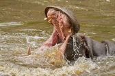 Hippo attack — Stock Photo