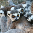 Ring-tailed Lemur — Stock Photo
