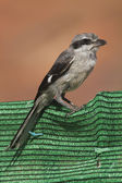 Great Grey Shrike — Stock Photo