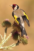 Europeiska goldfinch — Stockfoto