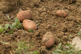Fresh harvested potatoes — Stockfoto