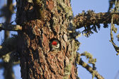 Great Spotted Woodpecker — Stock Photo