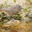 Stock Photo: Black redstart on birdbath