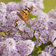 Butterfly feeding on purple lilacs — Stock Photo #39377689