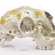 Stock Photo: Sheep skull