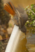 Black Redstart drinking — Stock fotografie
