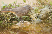Black redstart, birdbath — Stock Photo