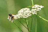 Bee feeding on a flower — Stock Photo