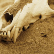 Stock Photo: Fox skull in sand