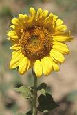 Pojedynczy słonecznik — Zdjęcie stockowe