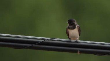 Barn swallow — Stock Video