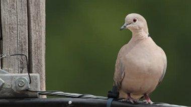 Eurasian Collared Dove — Stock Video