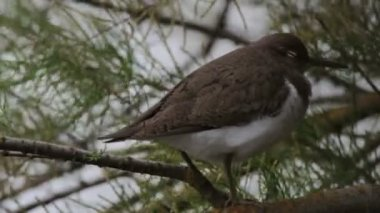 Common sandpiper — Stock Video