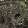 Stock Video: Monk Parakeets