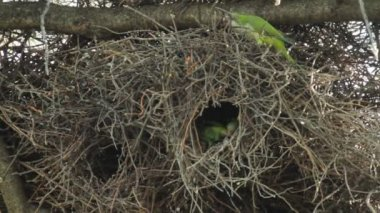 Monk Parakeets — Stock Video