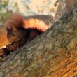 Red squirrel — Stock Video #40905095