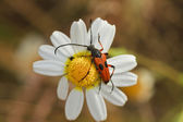 Red beetle perched on a daisy — Stock Photo