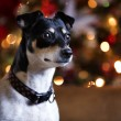 Cute dog with Christmas background — Stock Photo