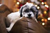 Bored puppy waiting on Santa — Stock Photo
