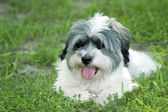 Fluffy white puppy with tongue out — Stock Photo