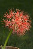 Unusual spikey flower — Stock fotografie