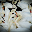 Group of swan. vignetting style — Stock Photo