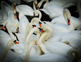 Group of swan. vignetting style — Stockfoto