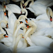 Stock Photo: Group of swan. vignetting style