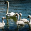 Swan with nine young chicks. swimming in a river — Stock Photo