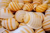 Pile of the same sea shells. closeup — Zdjęcie stockowe