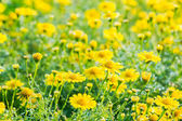 Marigold flowers in the meadow in the sunlight — Stock Photo