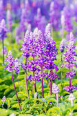 Beautiful flowerbed with Sage, Salvia nemarosa — Stock Photo