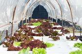 Hydroponics vegetable — Стоковое фото